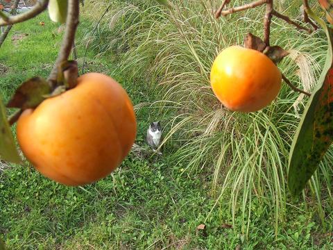 柿と文ちゃん