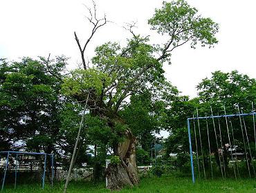 美祢市指定文化財 天然記念物「嘉万小学校のアカメヤナギ」