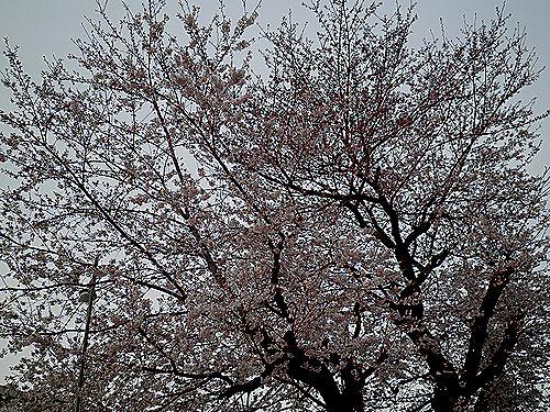 2011年・桜の木