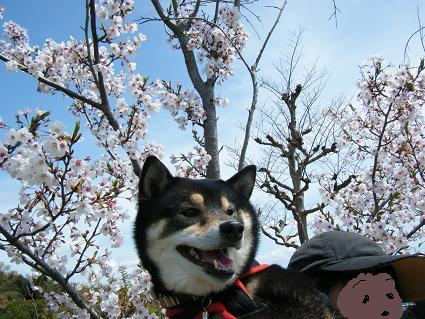 わんこお花見2010!11
