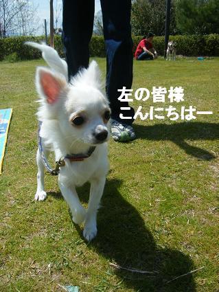 わんこお花見2010!36