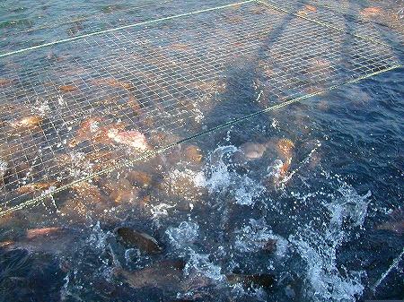 鯛の餌やり4