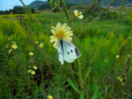 秋のノゲシと蝶