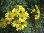 石蕗(つわぶき)の黄色い花が満開 20101121