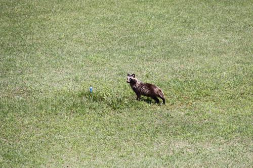 いそべ ゴルフ場 タヌキ