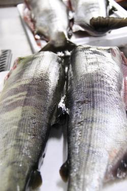 いそべ仕入れ 鮭 メナ