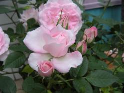 bara_pink.jpg