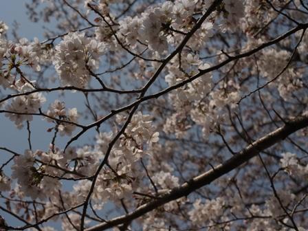 CherryBlossom_20110402.jpg