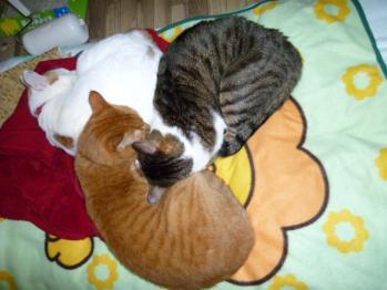 猫団子(ムサシ、こいと、じゅんぺい)