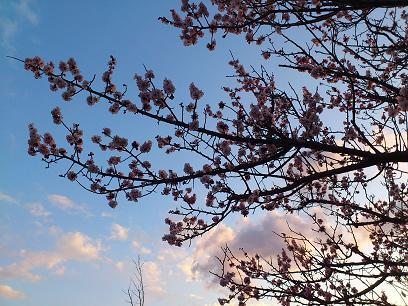 2012 桜咲く