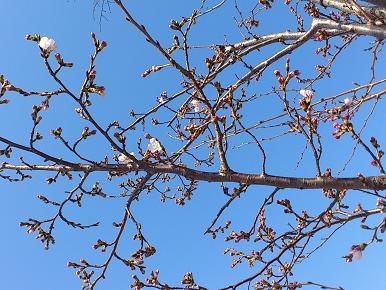 4月5日 今日の桜