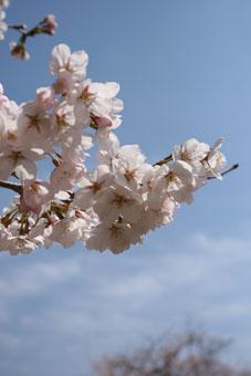 110407お花見桜
