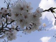 080404+花見~矢作川河川敷+004