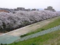 080404+花見~矢作川河川敷+009