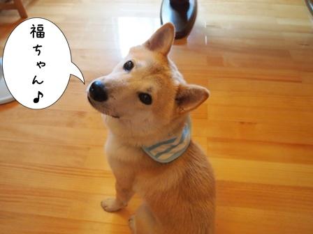 柴犬福ちゃん