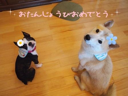 柴犬福ちゃん1