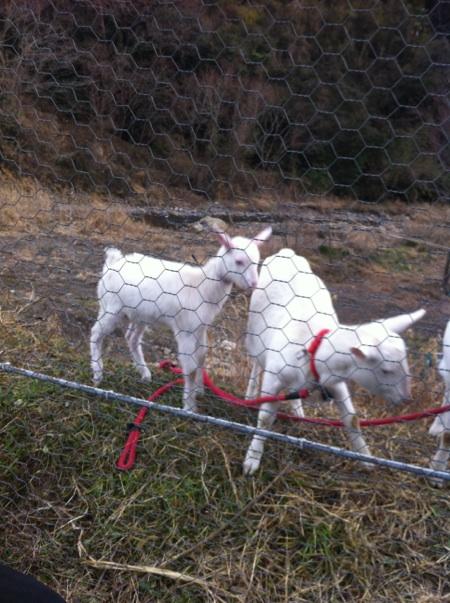 ヤギと交流3