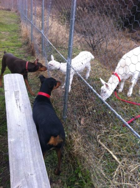 ヤギと交流2