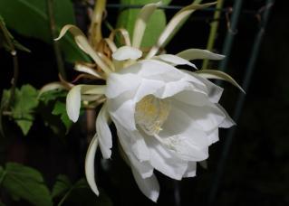 この花の名前を僕達は月下美人と知っている
