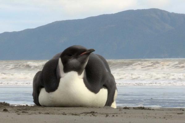 Emperor penguin on Peka Peka Beach