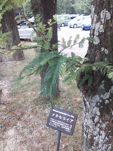 花畑園芸公園・メタセコイア