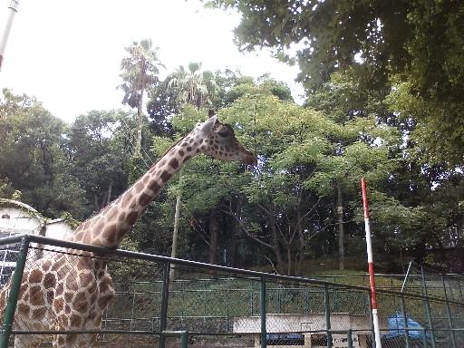 福岡市動物園・アミメキリン