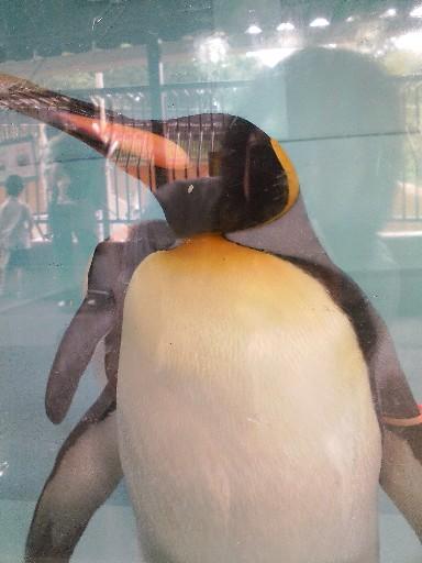 福岡市動物園・キングペンギン