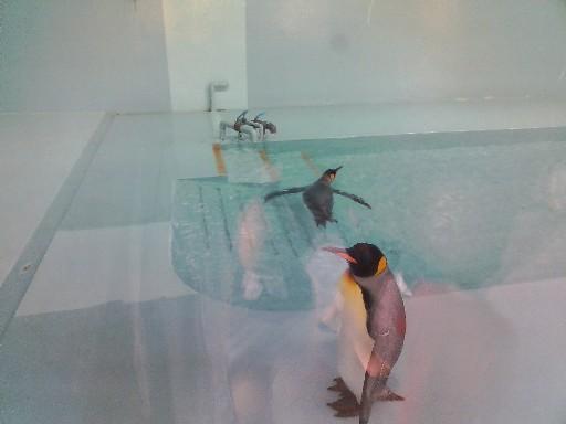 福岡市動物園・キングペンギン泳ぐ