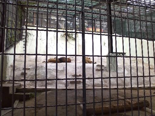 福岡市動物園・ライオン