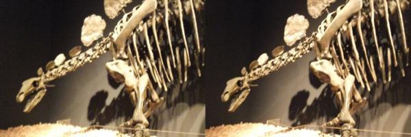 ヘスペロサウルス(交差法)