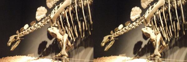 ヘスペロサウルス(平行法)