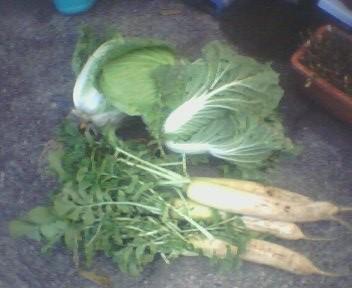 掘りたての野菜がいぱーい