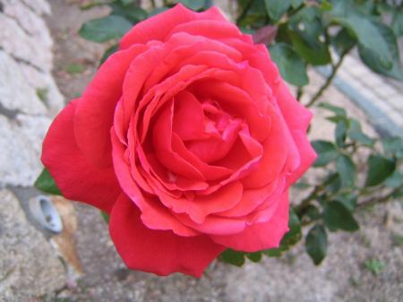 4966薔薇