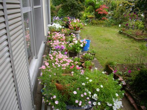 庭のペチュニア