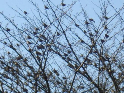 雀 桜の木