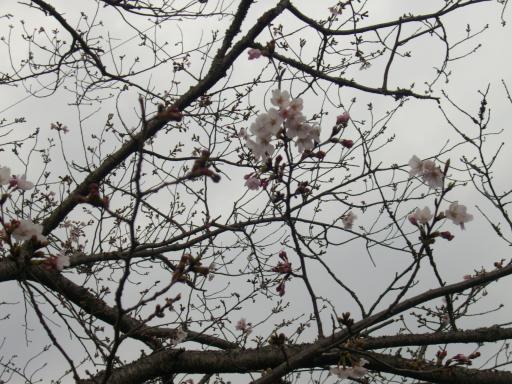 JAMESの桜