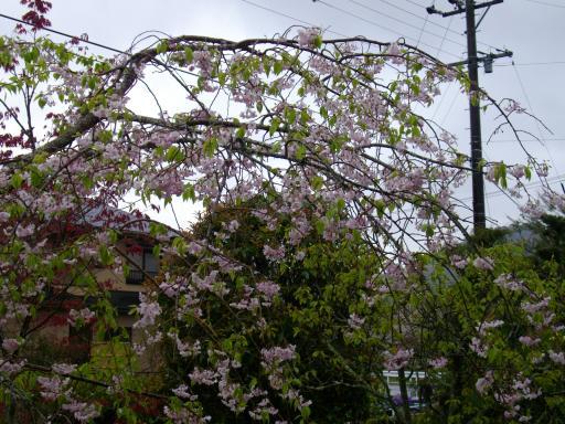 今日の枝垂れ桜1