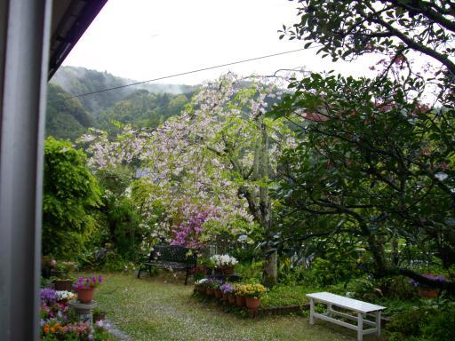 今日の枝垂れ桜2