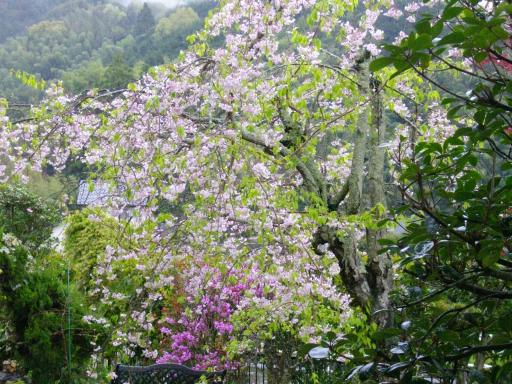 今日の枝垂れ桜3