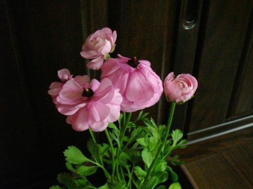 花が開きすぎたラナンキュラス