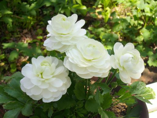 白いラナンキュラス1