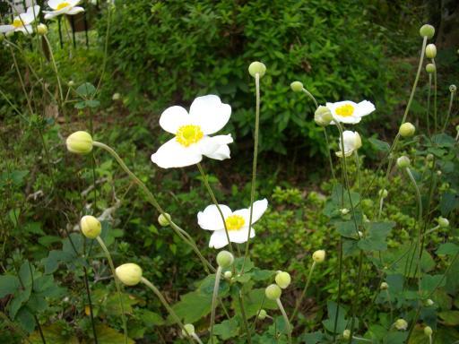 しゅうめい菊1