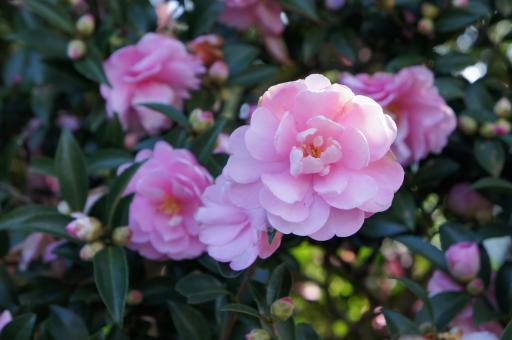 ピンクのサザンカ2