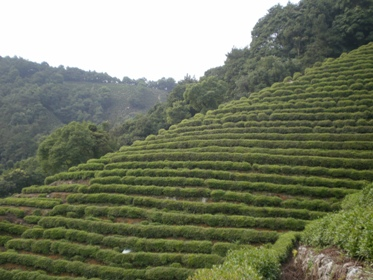 獅峰龍井茶園