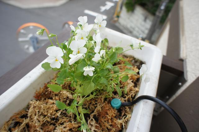 花ざかりビオラ ホワイト
