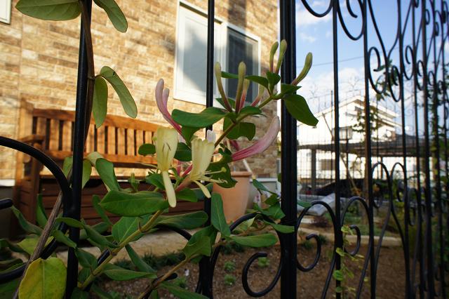 スイカズラの開花 20101109