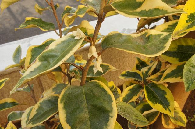 ギルドエッジの花2