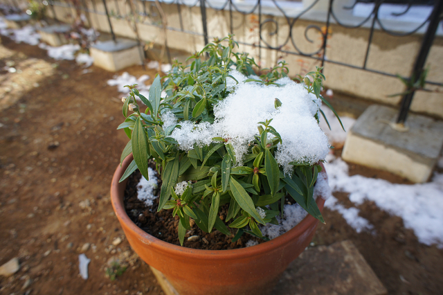 雪のキンギョソウ1