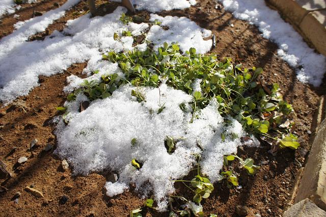 雪のクローバーティントヴェール