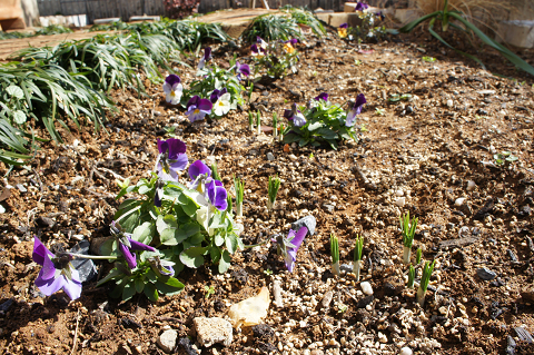 芽がいっぱいの花壇20110216
